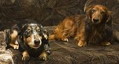 picture of badger  - Two little dachshunds  - JPG