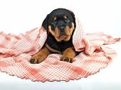 image of peeking  - Silly little Rottweiler puppy peeking her head out from under a pink blanket on a white background - JPG