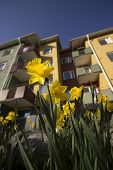 picture of easter lily  - Easter Lily in front of Apartment building - JPG