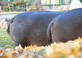 picture of behemoth  - Background of two hippopotamus in the zoo in Vienna - JPG
