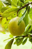 pic of pomelo  - green ripe fresh pomelo on tree branch  - JPG