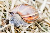 stock photo of hermaphrodite  - a big brown snail on the floor - JPG