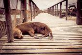 picture of sea lion  - sea lion sleeping in pier in san cristobal galapagos islands ecuador - JPG