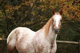 stock photo of appaloosa  - Potrait of beautiful appaloosa mare in autumn - JPG