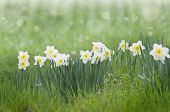 stock photo of daffodils  - beautiful meadow with daffodils on a spring morning - JPG
