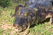 picture of grown up  - Grown up caiman in Mato Grosso do Sul in the Brazilian Pantanal