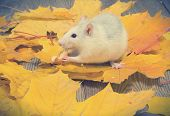 pic of rats  - white pet rat eats bread sitting on yellow leaves - JPG