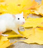 foto of rats  - white pet rat in yellow maple leaves - JPG