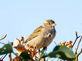 picture of bird fence  - House sparrow bird sitting on the fence - JPG