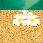 pic of plumeria flower  - beautiful tropical Plumeria flowers on swimming pool with reflection water closeup - JPG