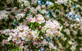 pic of bud  - Closeup of fragile blossoms and buds of a crabapple tree in the early spring season - JPG