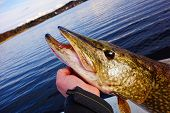 stock photo of musky  - A fisherman holding large size pike in hand before its release back to water on a lake in Finland in May evening - JPG