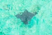 picture of stingray  - A stingray swims over a tropical reef in maldives - JPG