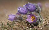 stock photo of violet flower  - Spring flower Pasqueflower- Pulsatilla grandis on violet flower on background blurry flowers on meadow. ** Note: Shallow depth of field - JPG