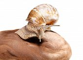 image of helix  - Macro of Burgundy snail  - JPG