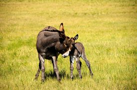 image of burro  - A mother and baby burro at Custer State Park South Dakota - JPG
