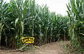 picture of corn stalk  - Entrance into field of corn that has been cut into the recreational adventure of a maze - JPG