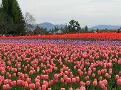 picture of burlington  - tulip field in la conner washington during the annual tulip festival - JPG