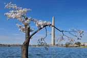stock photo of cornerstone  - Cherry blossoms with the Washington Monument in the background during the Annual National Cherry Blossom Festival in Washington - JPG