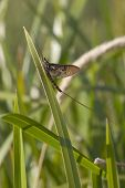 stock photo of mayfly  - an ephemera danica mayfly resting on reeds - JPG