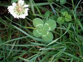 foto of four leaf clover  - Lucky four leaf clover growing in grass patch - JPG