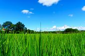 Organic Rice In The Rural Rice Paddy Fields At Countryside Of North Region Of Thailand In Sunny Day poster