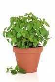 pic of citronella  - Lemon balm herb growing in a terracotta pot with leaf sprigs - JPG