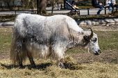 The Domestic Yak, Bos Grunniens Is A Long-haired Domesticated Bovid Found Throughout The Himalayan R poster