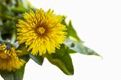 Yellow Flower. Flower In Garden At Sunny Summer Or Spring Day. Flower For Postcard Beauty Decoration poster