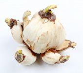 image of ayam  - narcissus bulb - JPG