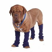 picture of leg warmer  - Dog with beads and leg warmers isolated - JPG