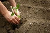 Mans Hands Planted A Young Plant Of Pepper In The Ground. Planting Pepper Seedlings. Making A Hole  poster
