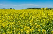 Rapeseed Field Against The Sky With Clouds On A Sunny Summer Day. Oil Crops. Ripening Crop poster