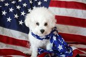 Mia the Bichon Frise Celebrates the Forth of July with an American Flag. Forth of July with a small  poster