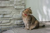 The Siberian Domestic Cat Is Sitting On The Street Near His House poster