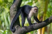 White-headed Capuchin Monkey (cebus Capucinus) Resting In National Park Manuel Antonio - Costa Rica poster