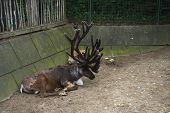 Brown Male Reindeer With Big Antlers With Another One Lies In The Enclosure Or Pinfold In Summer Day poster