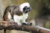 Close Up Portrait Of One Small Cotton-top Tamarin (saguinus Oedipus) poster