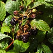 Blackberry On A Bush