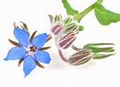 picture of borage  - Blue Borage or starflower plant - JPG