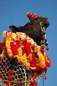 Постер, плакат: Оформленный верблюд в Пушкар справедливой в пустыне Тар Раджастан Индия