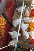 pic of hen house  - White chickens in hen house at farm - JPG