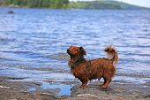 stock photo of long-haired dachshund  - Small - JPG