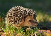 image of wild hog  - Young hedgehog in natural habitat  - JPG
