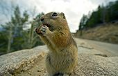 foto of omnivore  - Chipmunk Lunch  - JPG