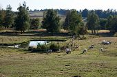 picture of open grazing area  - Group of sheep grazing in an open area near a small pond - JPG