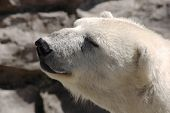 foto of polar bears  - close up of a polar bear - JPG