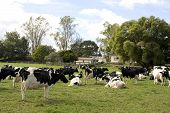 image of moo-cow  - Herd of Dairy Cows on a Farm - JPG