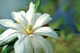 pic of japanese magnolia  - Japanese Native Magnolia Star  - JPG