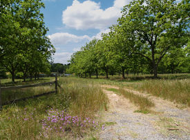 foto of pecan tree  - Road through a mature pecan grove budding with new leaves in south Georgia during springtime - JPG